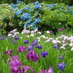 菖蒲と紫陽花のコラボ