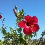 beautiful hibiscus