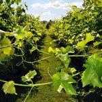 Saint Paul Mountain Vineyards