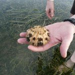 Oursin à marée basse