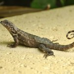 Curly-tailed lizards (a/k/a Lion LIzards) are always looking for a handout