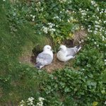 puffins at dunnet head