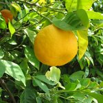 Apostolis Lemon Trees
