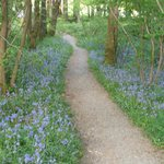 BLUEBELLS ON PATH TO A BIRD HIDE