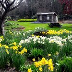 Daffodils at the Mendocino Coast Botanical Gardens