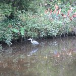 It is a heron right ?