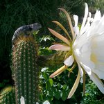 Desert spiny lizard perched beside a night-blooming cereus blossom