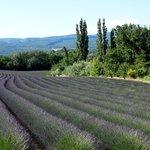 Lavande near Avignon