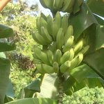 These bananas were just off the lanai, but out of reach.
