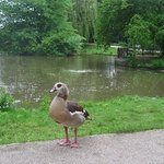 one of the ducks nearby