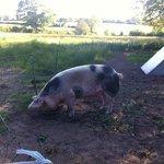 Sophie the pig