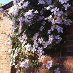 Beautiful clematis in full flower