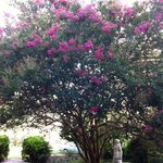 Beautiful crepe myrtle tree in the back yard.