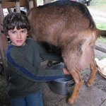Kids love the morning milking!