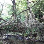 The Root Bridges near Mawlynnong village, Shillong, India