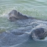Manatees from the dock