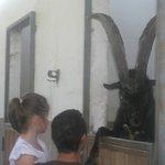 la capra vanitosa