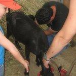 mungiamo la capra