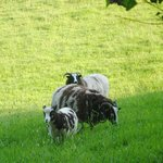 Jacob Sheep at Colly Farm