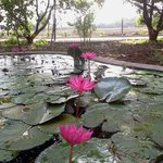 Lotus in the small pond