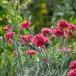 Rose Cottage, garden