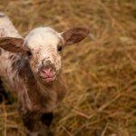 Boots the Lamb