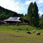 Sheep and the Barn