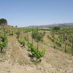 Vineyards in Gratallops