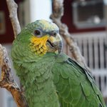 Picololo the parrot at Casa Relax in Getsemani, Cartagena.