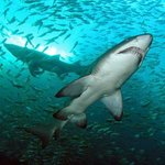 Grey Nurse Sharks @ Broughton Island