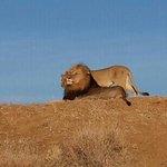 Lions in Madikwe