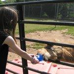 Feeding the camel.