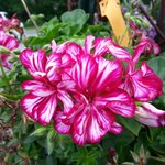 They have some unusual varieties, such as this variegated geranium