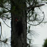 A woodpecker happily tapping away