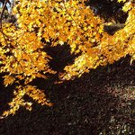 光の当たる黄葉