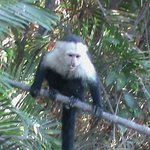White Throated Capuchin monkey.