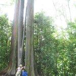 rainbow gum tree