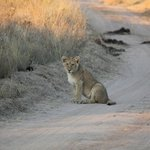 Lion cub on the road