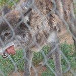 Amazing wolf hybrid