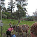 Elk - feeding time