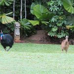 Breakfast with the Cassowaries