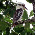 Kookaburra in the garden