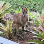 Wild Wallaby in the garden