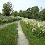 Queen Ann lace fields