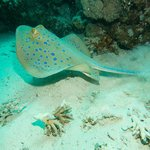 Blue spotted ray - great diving just off the reef