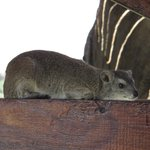 Rock Hyraxes are everywhere around the lodge.