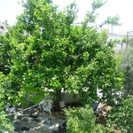 a faimose lemon tree in cana guest garden