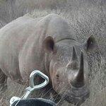 Madikwe black rhino