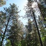 Beautiful Ponderosa pines on Little Bear Trail.