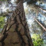 The distinctive bark of the Ponderosa pine.